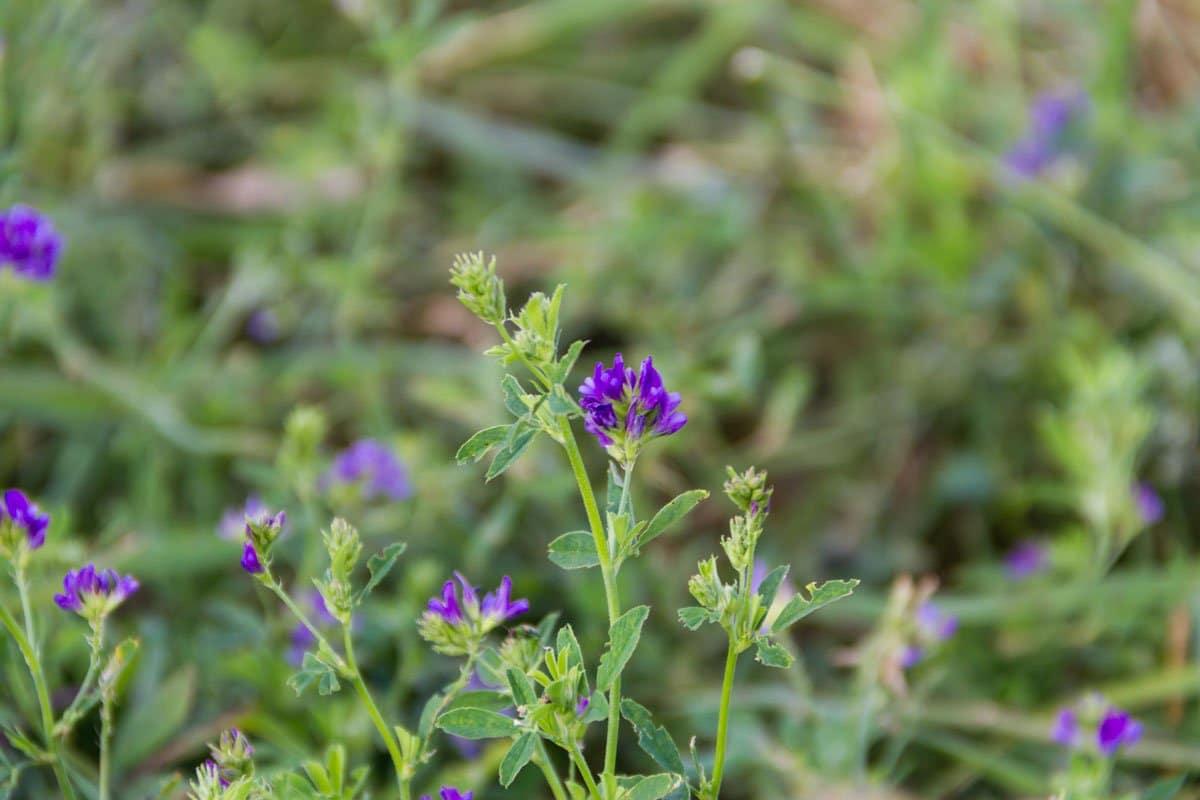 Alfalfa: hierbas nutritivas para perros y gatos
