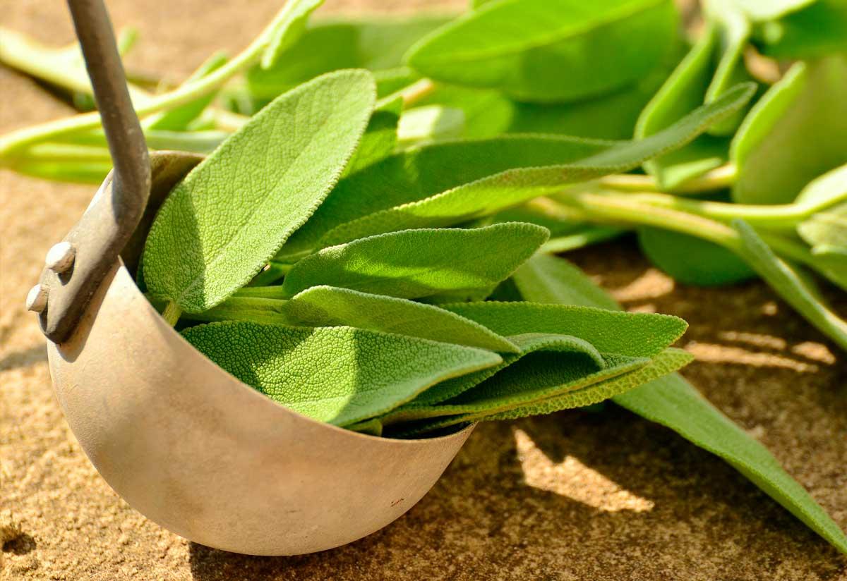 Salvia: hierbas nutritivas para perros y gatos