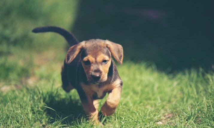 como calcular la ración diaria de comida de un perro cachorro