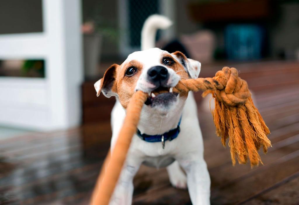 como jugar con tu perro